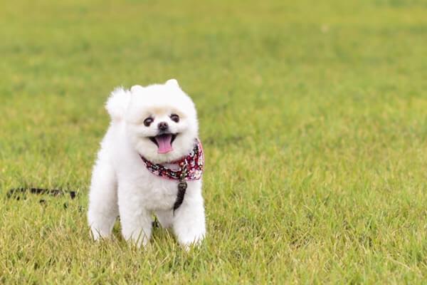 ペットに大人気の白ポメラニアン